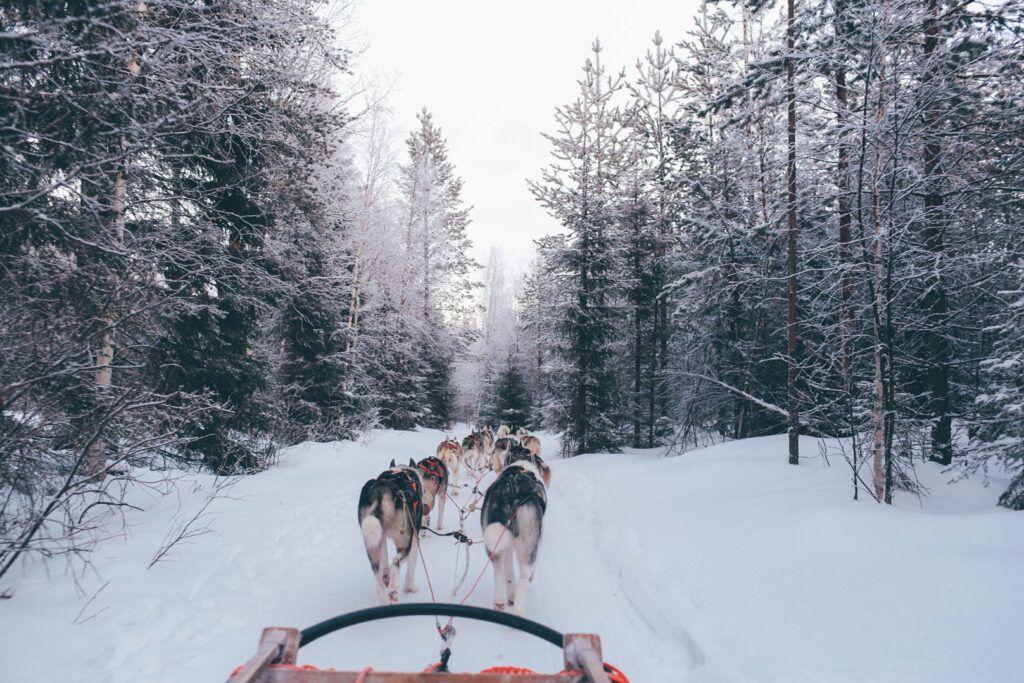Cani da slitta Lapponia