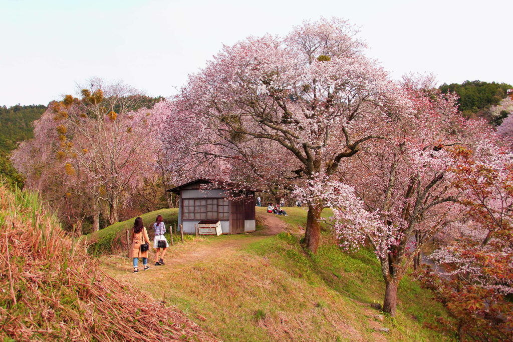 Hanami Monte Yoshino