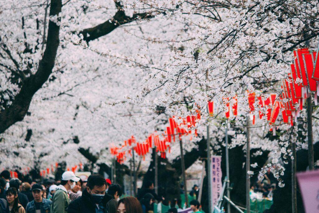 Fioritura dei ciliegi in Giappone.