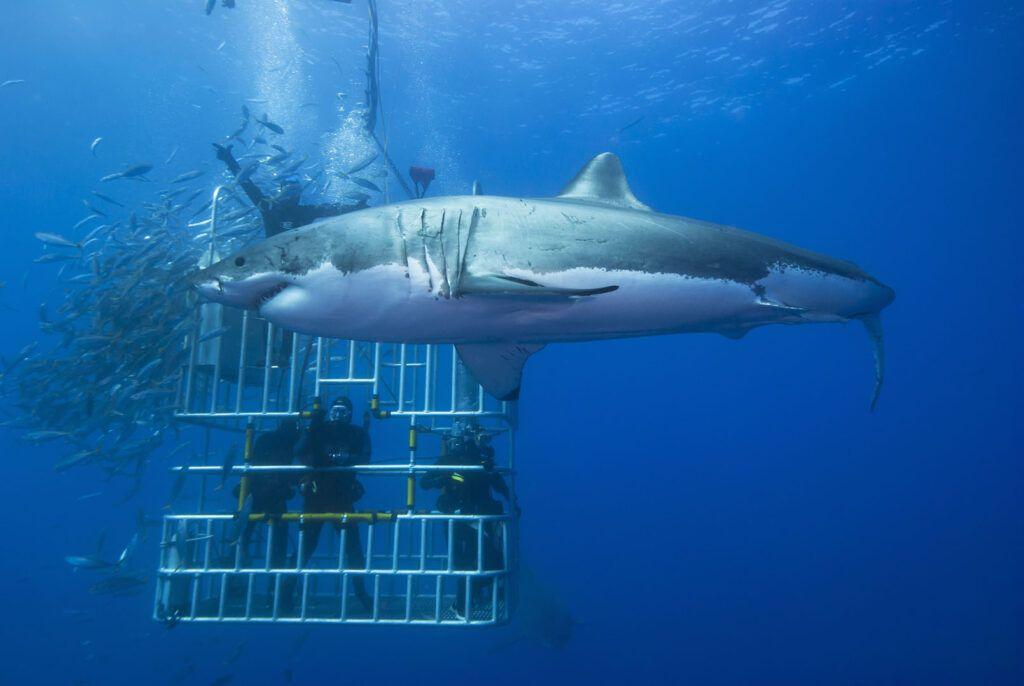 Avventure nel mondo: Immersione squalo bianco