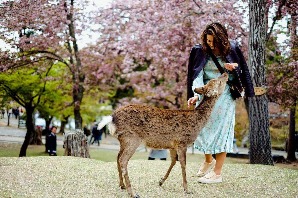 I cervi di Nara: docili e amichevoli!